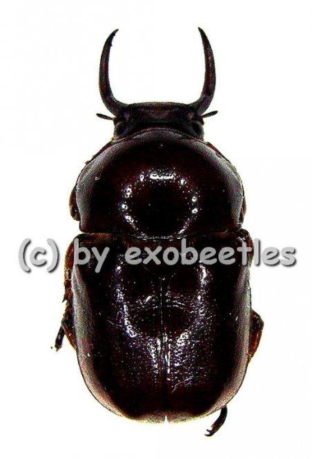 Didrepanephorus yunnanus  ( 15 - 19 )