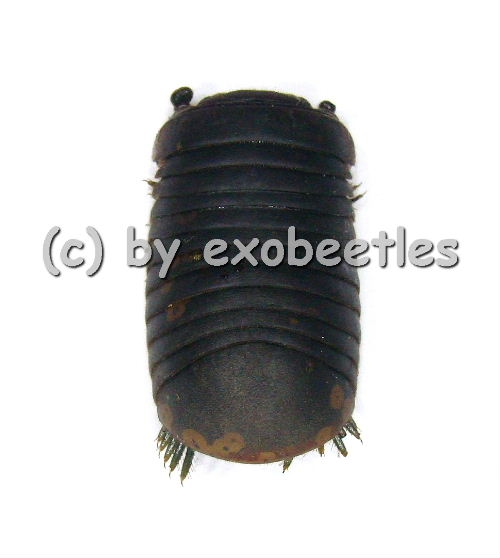 Diplopoda spec.  ( 30 - 39 )