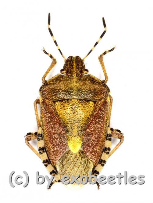 Dolycoris baccarum  ( 10 – 14 )
