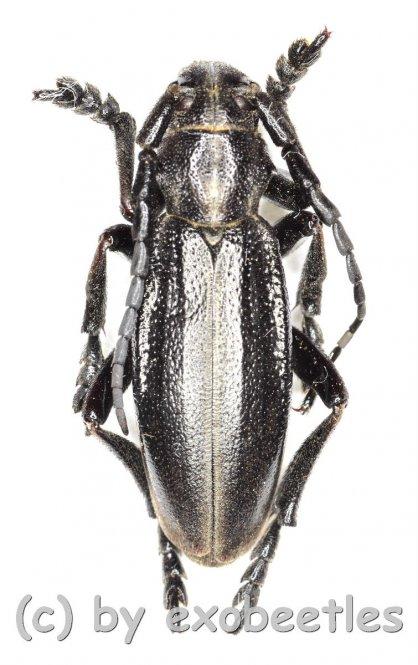 Dorcadion carinatum  ( 20 - 24 )