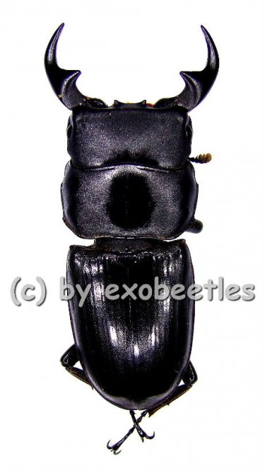 Dorcus curvidens curvidens  ( 34 - 44 )