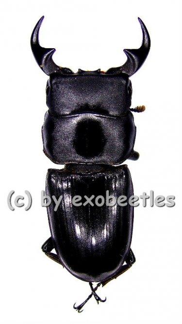 Dorcus curvidens curvidens  ( 45 - 49 )