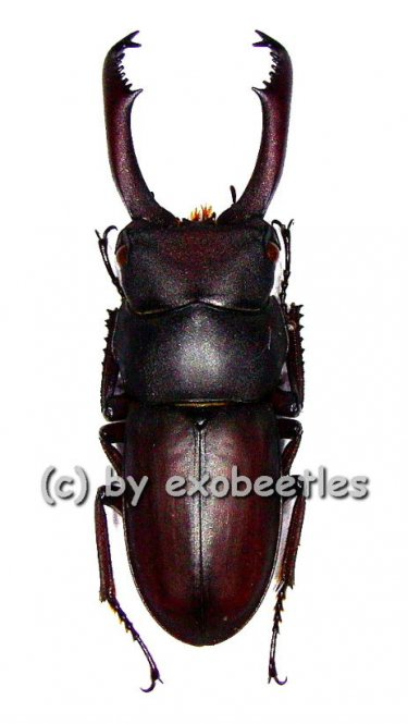 Dorcus tanakei  ( 40 - 44 )
