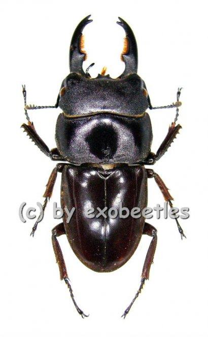 Dorcus taurus ssp.gypaetus  ( 40 - 44 )