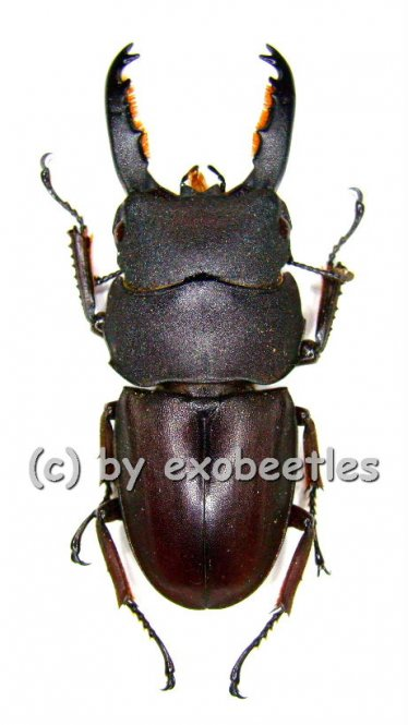 Dorcus taurus taurus  ( 35 - 39 )