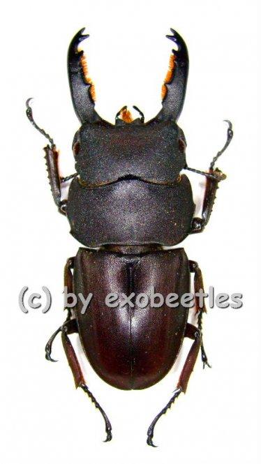 Dorcus taurus taurus  ( 40 - 44 )