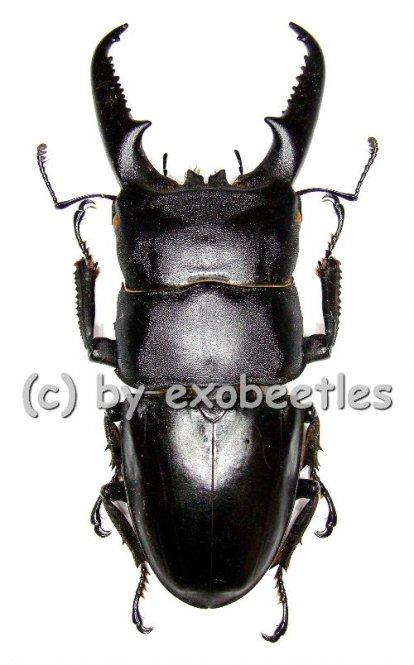Dorcus titanus ssp.platymelus  ( 55 - 64 )  A2