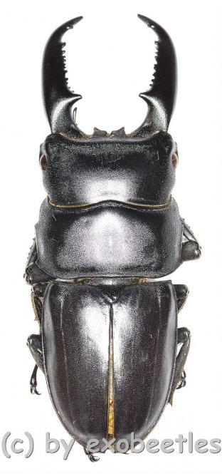 Dorcus titanus westermanni  ( 65 – 69 )  A2