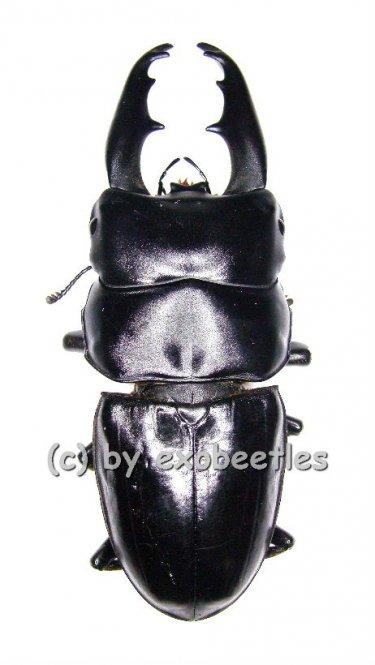 Dorcus tityus  ( 55 - 59 )