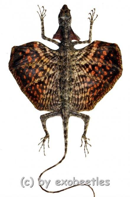 Draco haematopogon ( rote var. )
