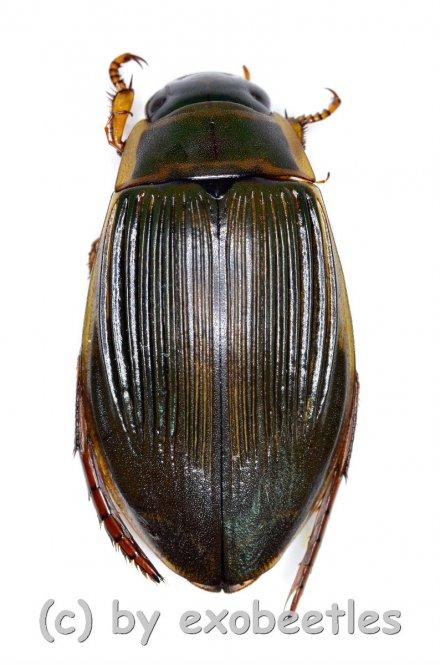 Dytiscus marginalis  ( 25 – 34 )