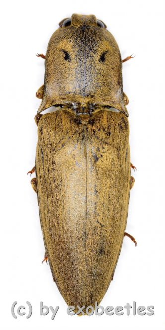 Elateridae spec. #27  ( 30 – 34 )  A2