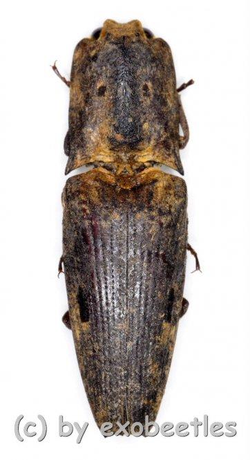 Elateridae spec. #33  ( 25 – 29 )