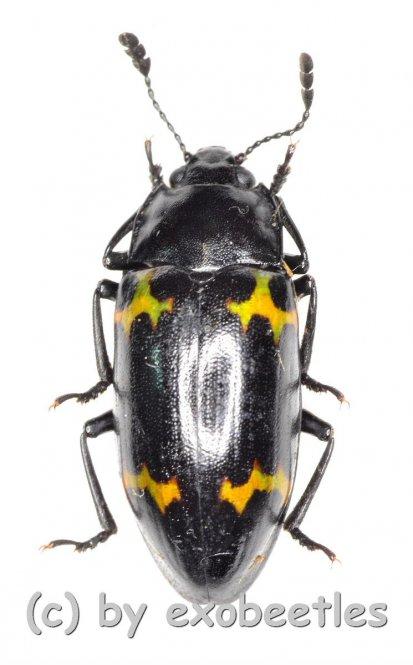 Endomychidae spec. #7  ( 15 – 19 )