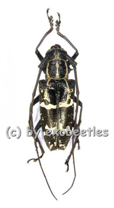 Epepeotes desertus  ( 20 - 29 )