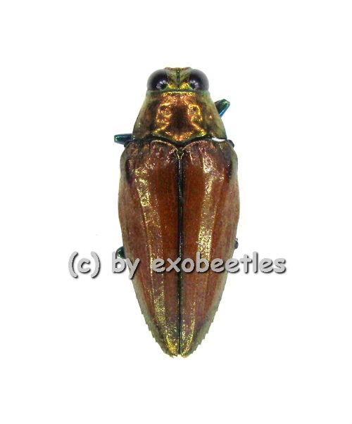 Epidelus wallacei ( braun )  ( 20 - 24 )