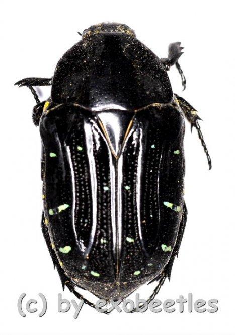 Euchroea clementi  ( 20 - 24 )  A2