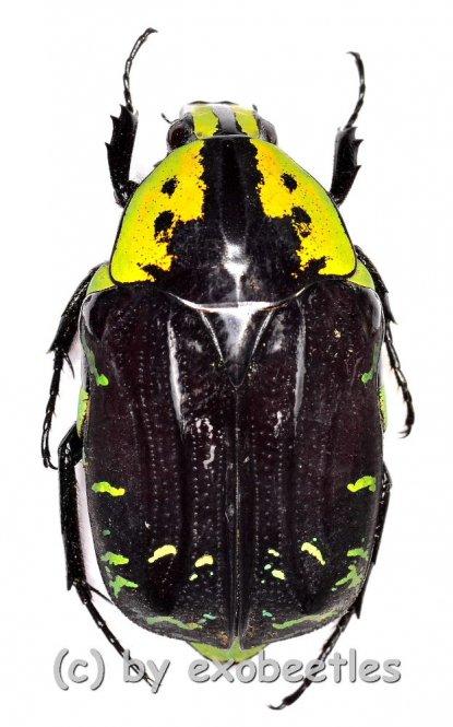 Euchroea coelestis peyrierasi  ( 25 – 29 )  A2