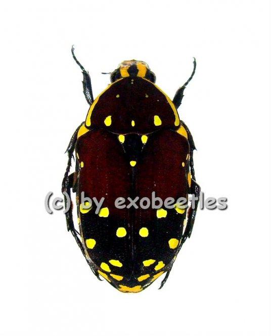 Euchroea histrionica  ( 20 - 24 )