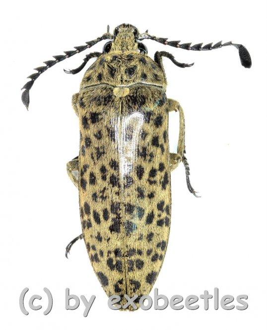 Eulichas ( Eulichas ) pantherina sp.  ( 25 - 29 )