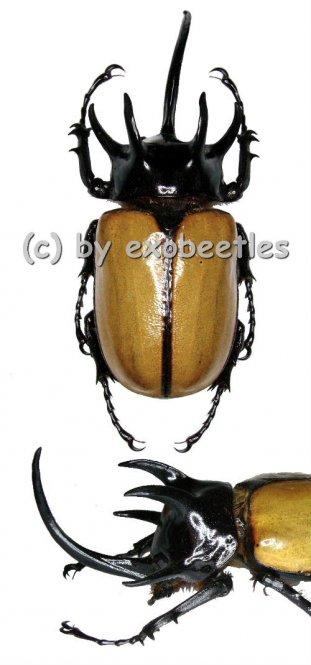 Eupatorus gracilicornis  ( 70 – 74 )