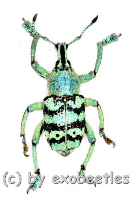 Eupholus chevrolati  ( 20 – 24 )