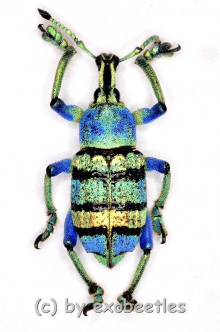 Eupholus schoenherri ssp.  ( 20 – 29 )