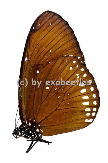 Euploea aglea  A2