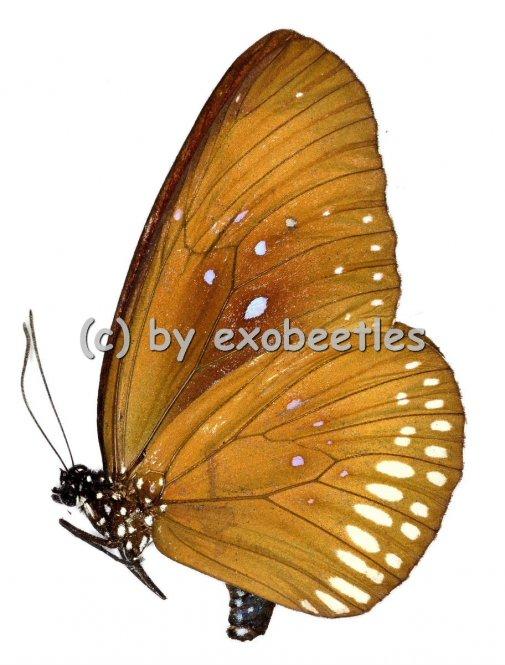 Euploea modesta modesta