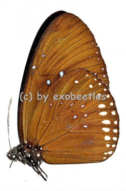 Euploea sylvester ssp.