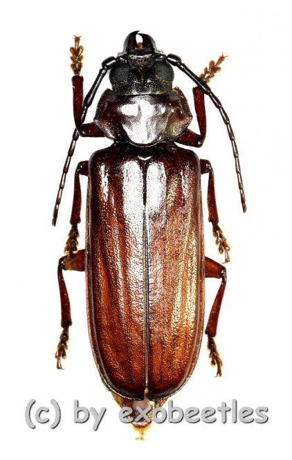 Eurypoda batesi