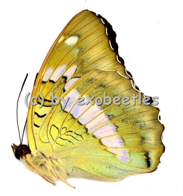 Euthalia bellula