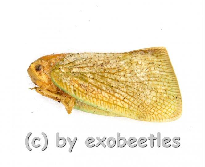 Flatidae spec. #2