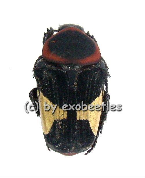 Glycyphana ( Glycyphana ) horsfieldi