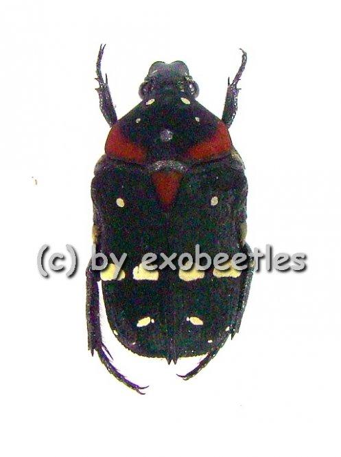 Glycyphana ( Glycyphaniola ) quadricolor ssp.rubroscutellaris var.2  ( 10 - 14 )
