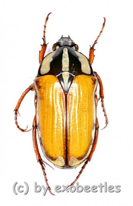 Gnathocera trivittata submarginata  ( 15 – 19 )