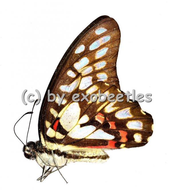 Graphium eurypylus  A1/A-