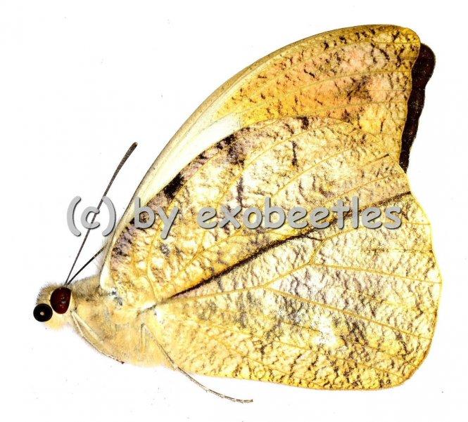 Hebomoia glaucippe aturia