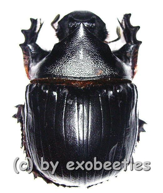 Heliocopris hamadryas  ( 45 – 49 )  A2