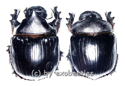 Heliocopris hamadryas  ( M 45 – 49 )