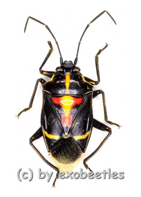 Hemiptera spec. #17  ( 10 – 14 )