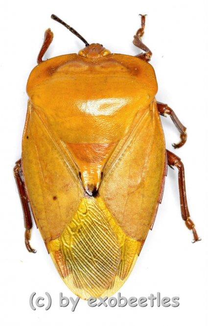 Hemiptera spec. #19 ( 7pcs )