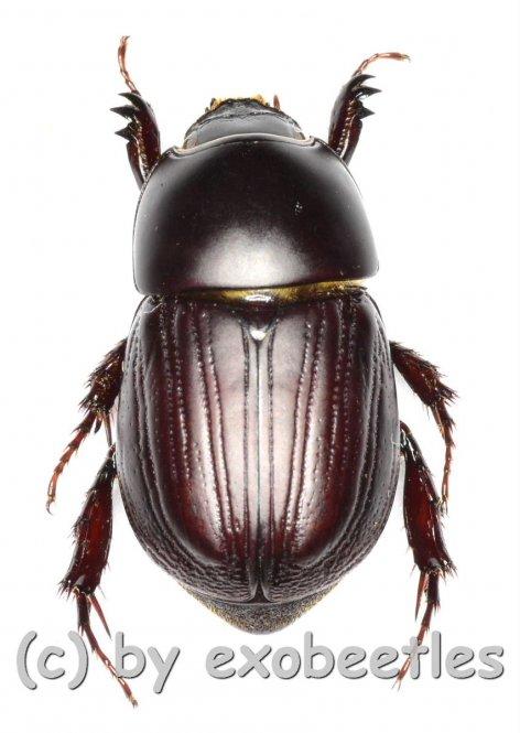 Heteronychus rusticus ssp.rusticus  ( 15 - 19 )