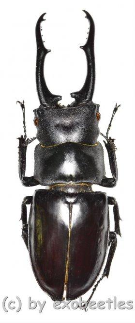 Hexarthrius vitalisi vitalisi  ( 70 - 74 )