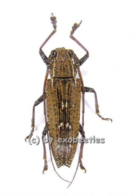 Homonaea albosignata