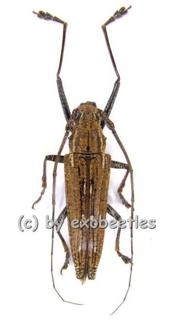 Homonaea albosignata  ( 25 - 30 )  A2