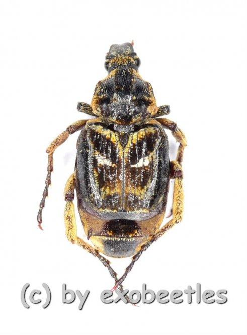 Hopliinae spec. #9  ( 5 – 9 )