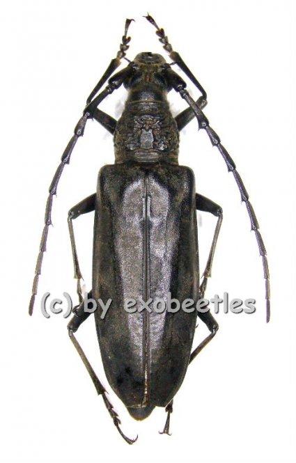 Neocerambyx spinicornis  ( 35 - 39 )