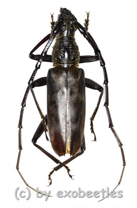 Hoplocerambyx spinicornis  ( 50 - 54 )