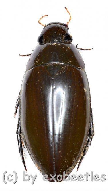 Hydrophilidae spec. #9  ( 35 - 39 )